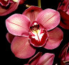 Cymbidium - Striking Back Bulbs